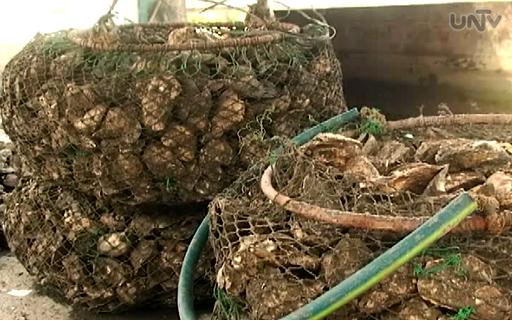 FILE PHOTO: Ang pagtitinda ng talaba ang isa sa mga apektadong kabuhayan kapag nagkakaroon ng shellfish ban na bunga ng red tide sa isang baybayin. (UNTV News)