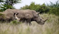 Black female rhinoceros are seen grazing at the Nairobi National Park in Kenya's capital Nairobi, September 19, 2014. CREDIT: REUTERS/THOMAS MUKOYA