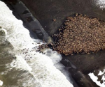 An estimated 35,000 walruses are pictured are pictured hauled out on a beach near the village of Point Lay, Alaska, 700 miles northwest of Anchorage, in this September 2014 handout photo. CREDIT: REUTERS/COREY ACCARDO/NOAA/NMFS/AFSC/NMML/HANDOUT VIA REUTERS