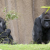 Two gorillas are pictured in their enclosure at the zoo in Los Angeles, California in this file photo taken January 28, 2015. CREDIT: REUTERS/MARIO ANZUONI/FILES