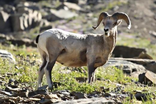 A bighorn sheep stands atop a pile of rocks near the Highline Trail in Glacier National Park, Montana August 24, 2011. CREDIT: REUTERS/MATT MILLS MCKNIGHT