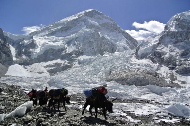 An avalanche on Mount Everest triggered by a major earthquake in Nepal killed at least eight people April 25, 2015. Above, yaks carrying mountaineering equipments return to base camp April 27, 2014. Reuters/Phurba Tenjing Sherpa
