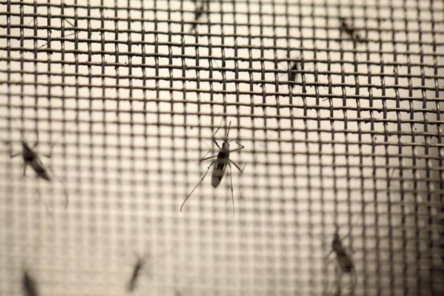 Aedes aegypti mosquitoes are seen at the Laboratory of Entomology and Ecology of the Dengue Branch of the U.S. Centers for Disease Control and Prevention in San Juan, March 6, 2016. REUTERS/ALVIN BAEZ