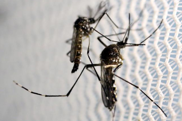 Aedes aegypti mosquitoes are seen inside Oxitec laboratory in Campinas, Brazil. REUTERS/Paulo Whitaker