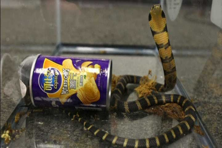 Man accused of smuggling king cobra snakes in potato chip cans